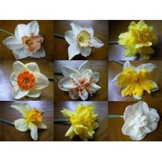 Нарцисс 14-16